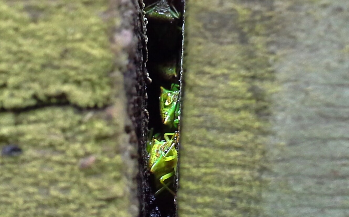 Shield bugs in fence