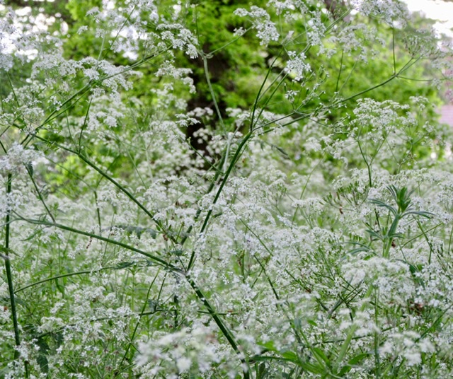 Cow parsley flowers