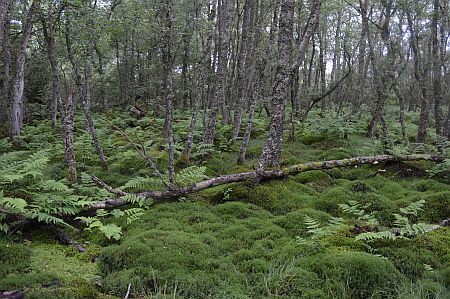 Birch wood with mosses and ferns